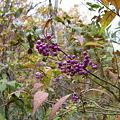 紫色の実が美しい紫式部  IMG_5443