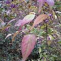 ムラサキシキブ(紫式部)の紫色の果実IMG_5447