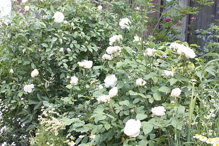 whiterosegarden (7)