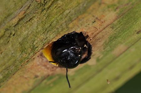 クマバチの画像 p1_8