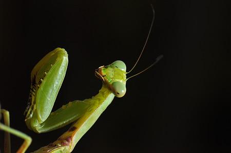 カマキリ科 ハラビロカマキリ