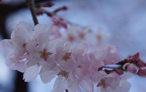 Photos: 初桜