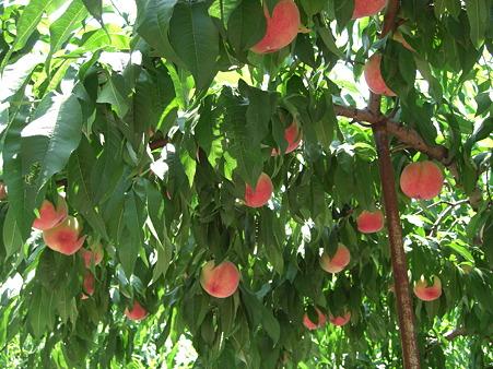 桃の実 2