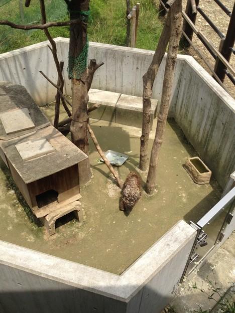 東山動植物園_40:カナダヤマアラシ