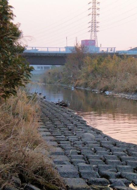 夕暮れの川辺に並んで佇むカモ