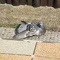 写真: 歩道橋上の側溝部分(?)で完全に気を抜いてた鳩