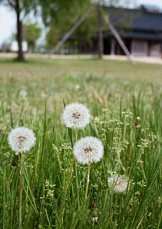 Dandelion_OLYMPUS_PEN_FT_Kodak_PORTRA160NC_05092011-03
