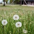 Photos: Dandelion_OLYMPUS_PEN_FT_Kodak_PORTRA160NC_05092011-03
