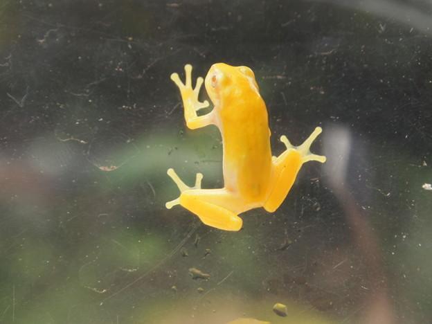 黄色い蛙(1)