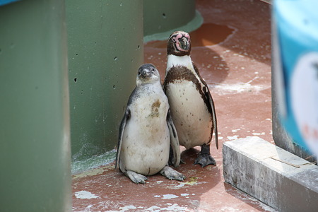 親子(?)のフンボルトペンギンその4