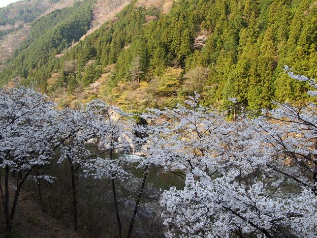 P4160270 中山七里の桜その3