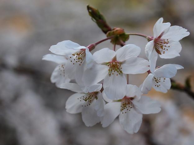 P4160300 中山七里の桜その15