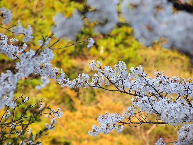 P4160311 中山七里の桜その22