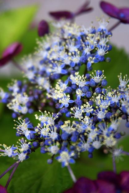 紫陽花 星の花と蕊^^