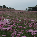 昭和記念公園・秋桜の丘