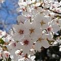 Photos: 稲毛神社の桜8