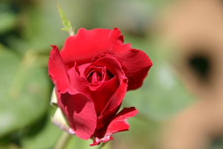 真っ赤なバラ…