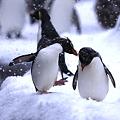 イワトビペンギン