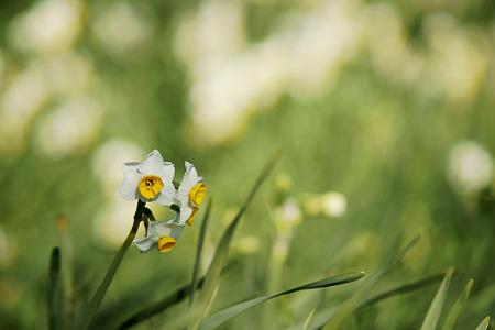 水仙 五分咲き