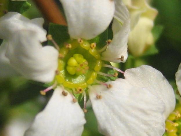 フジノピンキーの花拡大