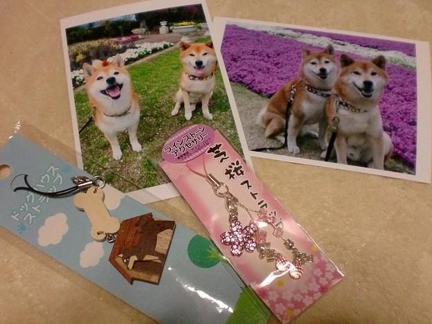 しば犬さんとしば桜。。。笑顔の競演
