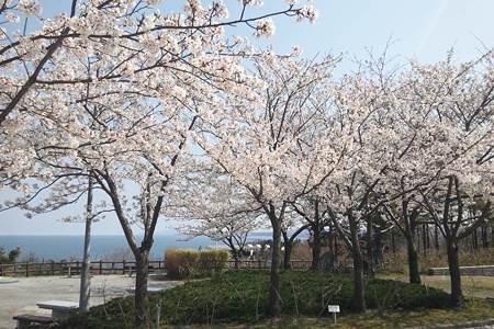 北陸自動車道米山SA上り線の桜