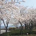 写真: 北陸自動車道米山SA上り線の桜