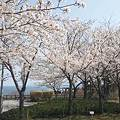 Photos: 北陸自動車道米山SA上り線の桜