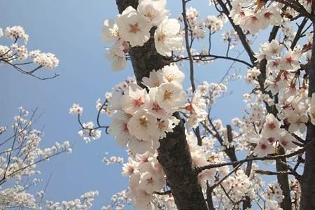北陸道米山SAの桜拡大
