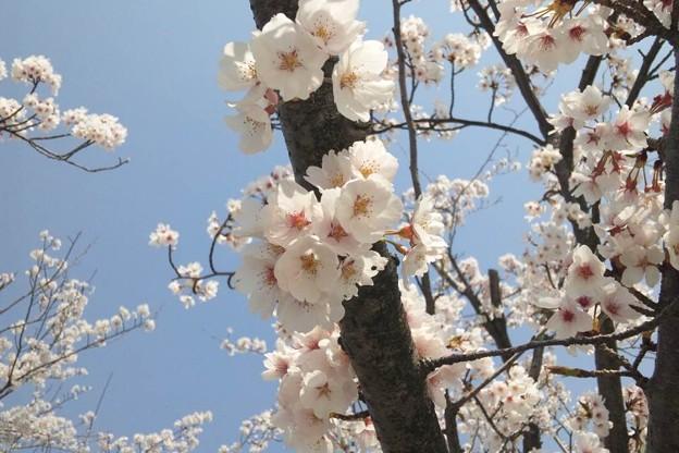 写真: 北陸道米山SAの桜拡大