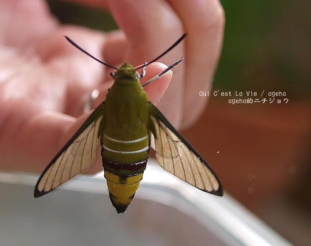 羽化。鱗粉落とし05(オオスカシバ飼育)