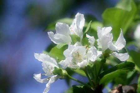 狂い咲きの李の花