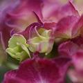 Photos: 紫陽花の微笑♪~♪