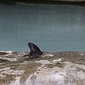 秘湯の黒アゲハ蝶