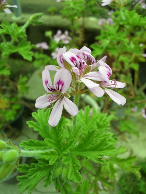 写真: Rose geranium