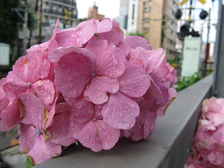 夏バテの薄紫色の紫陽花