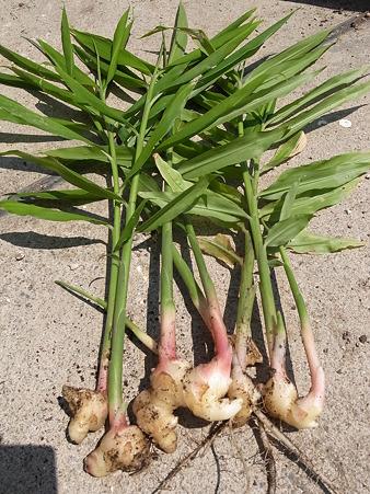 生姜 収穫 時期 生姜の収穫時期はいつごろ?種生姜の保存方法や植え付け時期 健康♡料...