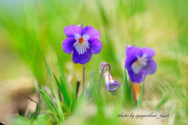 白と紫のすみれ