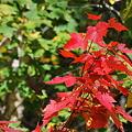 写真: Red Maple in Green