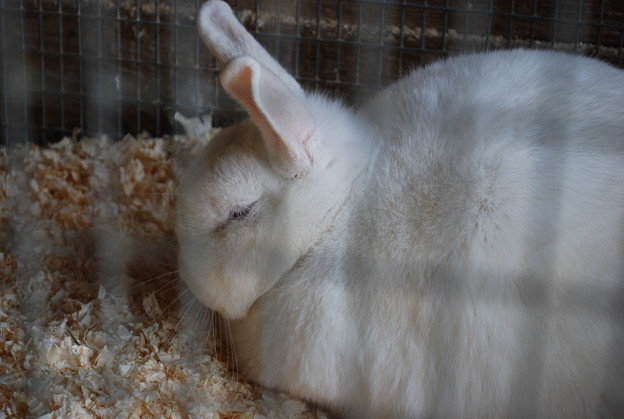 写真: White Rabbit