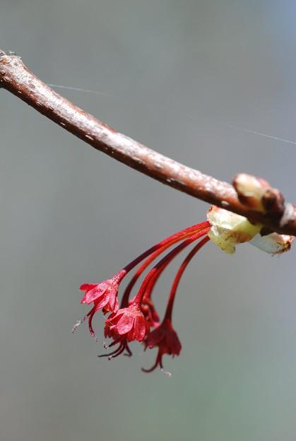 Maple Flowers 5-1-11
