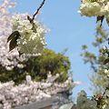 うこん桜とソメイヨシノ