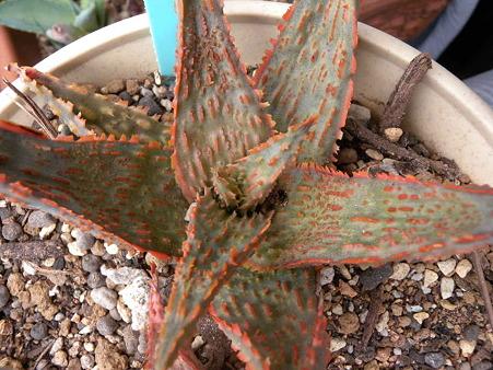 Aloe Red(Orange Marmarade)