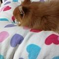 写真: 昨日風花の誕生日プレゼントに頂いたベッドやけど、今日も百花が占領...