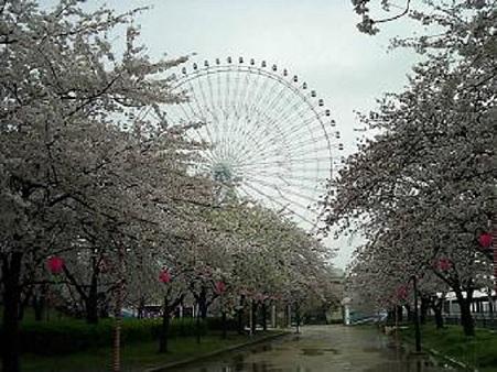 天保山の桜 と観覧車 改