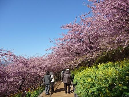 110305-松田山 河津桜 (22)