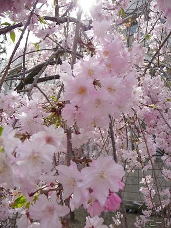 110417-造幣局 桜の通り抜け (106)