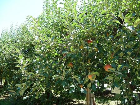 110906-浜松フルーツパーク リンゴ (3)