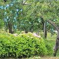 リンゴと紫陽花02-12.07.10