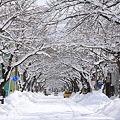 雪の桜並木